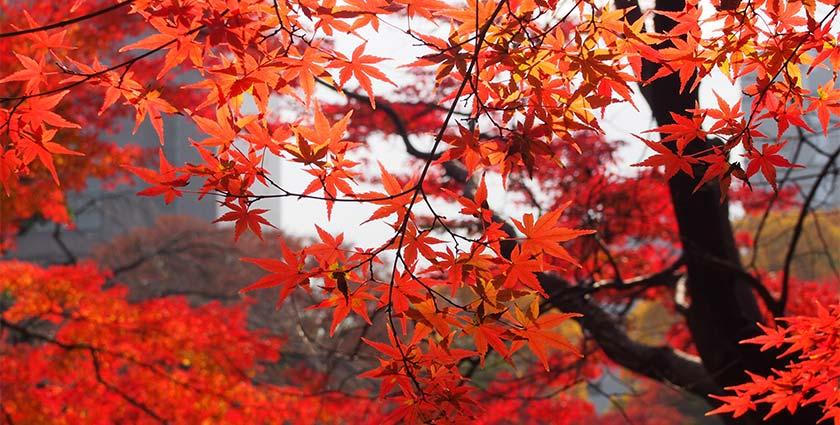 台灣 南投|入秋必訪 楓情萬種的奧萬大